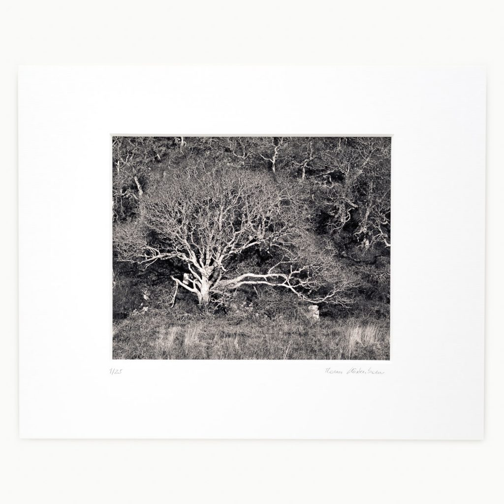 Shiny Bare Tree, Machrie, Isle of Arran, Scotland, UK