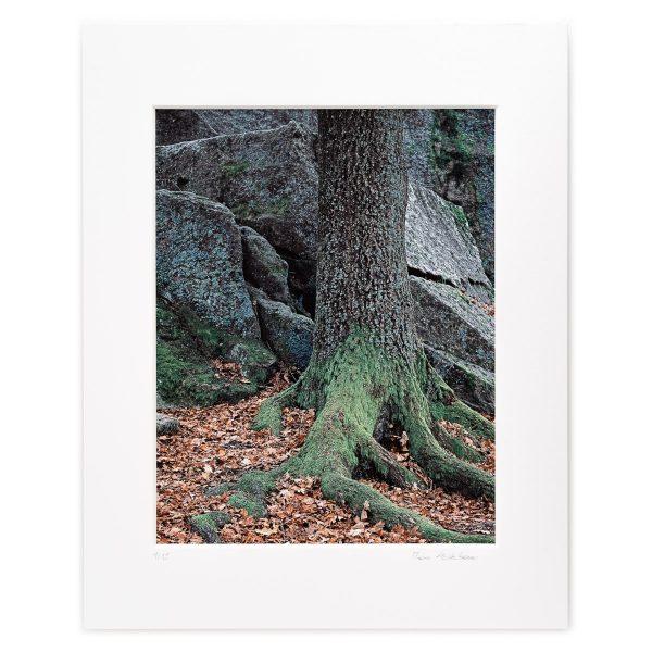 Mighty Oak in Front of Granite Blocks, Gmünd, Niederösterreich, AT